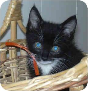 Domestic Shorthair Kitten for adoption in West Warwick, Rhode Island - Valerie