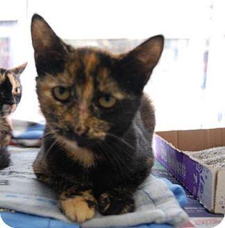 Domestic Shorthair Kitten for adoption in Brooklyn, New York - Korine