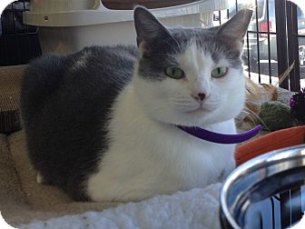 Domestic Shorthair Cat for adoption in Horsham, Pennsylvania - Lily