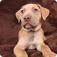Adopt A Pet :: Belle - Davison, MI