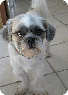 Shih Tzu Mix Dog for adoption in Rockville, Maryland - Cody
