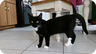 Domestic Shorthair Kitten for adoption in Columbus, Ohio - Lucius