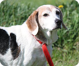 Beagle/Basset Hound Mix Dog for adoption in Marietta, Ohio - Tip (Neutered)