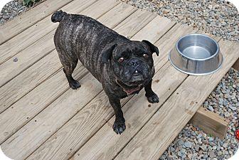 French Bulldog Mix Dog for adoption in Berea, Ohio - Benny
