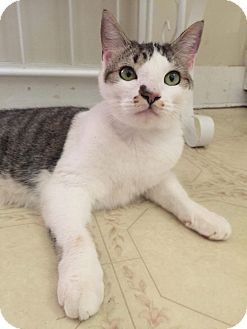 Domestic Shorthair Cat for adoption in Albemarle, North Carolina - Stanly