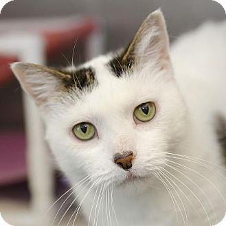 Domestic Shorthair Cat for adoption in Adrian, Michigan - Puddy