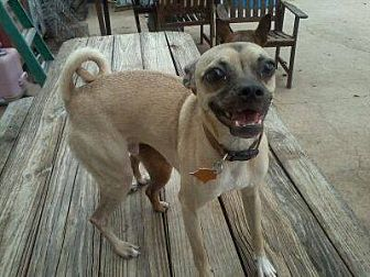 Pug/Chihuahua Mix Dog for adoption in Bertram, Texas - Ryker