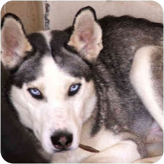"Siberian Husky Dog for adoption in Various Locations, Indiana - ""Caesar is Urgent"""