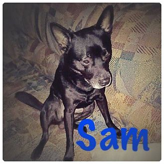 Chihuahua Mix Dog for adoption in Silver Spring, Maryland - SAM