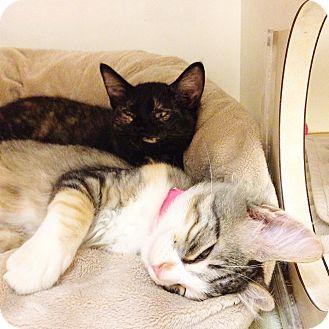 Domestic Shorthair Kitten for adoption in Dallas, Texas - Prada