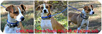 Beagle/Jack Russell Terrier Mix Dog for adoption in Siler City, North Carolina - Clark