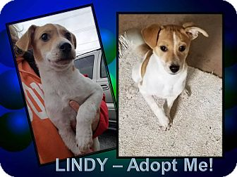 Terrier (Unknown Type, Medium)/Border Collie Mix Puppy for adoption in LaGrange, Kentucky - LINDY