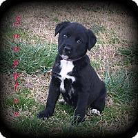 Adopt A Pet :: Snuggles - Denver, NC