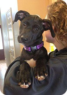 Labrador Retriever/Terrier (Unknown Type, Medium) Mix Puppy for adoption in Huntsville, Alabama - Bailey