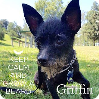 Brussels Griffon Mix Dog for adoption in Fountain Valley, California - Griffin