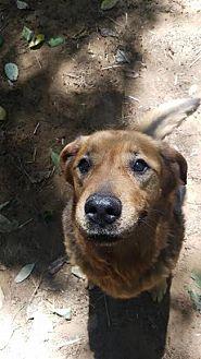 Shepherd (Unknown Type)/Labrador Retriever Mix Dog for adoption in Pt. Richmond, California - NATHAN