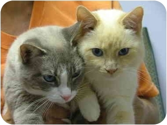 Snowshoe Cat for adoption in Winthrop, Massachusetts - Snowball & Clarence