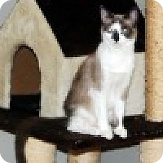 Siamese Cat for adoption in Barrie, Ontario - Petra