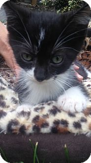Domestic Shorthair Kitten for adoption in Staten Island, New York - Reggie