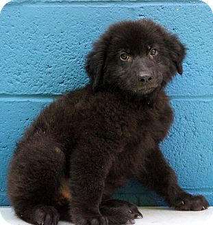 Chow Chow/Shepherd (Unknown Type) Mix Puppy for adoption in Waldorf, Maryland - Dean