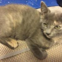 Domestic Shorthair/Domestic Shorthair Mix Cat for adoption in Richmond, Virginia - Tatiana