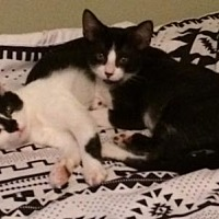 Adopt A Pet :: Stanley & Simmons - Bonded Brothers - Mission Viejo, CA