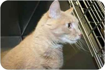 Domestic Shorthair Cat for adoption in Saint Charles, Missouri - Mattie