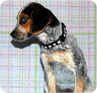 Beagle/Australian Cattle Dog Mix Puppy for adoption in Broomfield, Colorado - Jamie