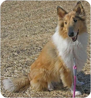 Collie Dog for adoption in Minneapolis, Minnesota - Katie