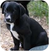 Hound (Unknown Type)/Labrador Retriever Mix Puppy for adoption in Portland, Maine - Billy Ray