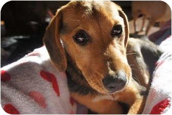 Beagle Mix Dog for adoption in Xenia, Ohio - Madie