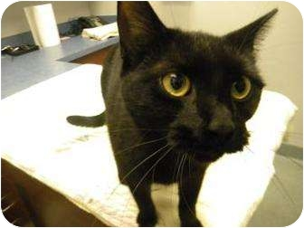 Domestic Shorthair Cat for adoption in Gainesville, Florida - Jarvis