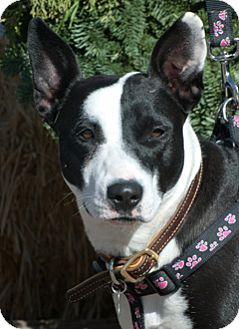 Bull Terrier Mix Dog for adoption in Rio Rancho, New Mexico - Sophie