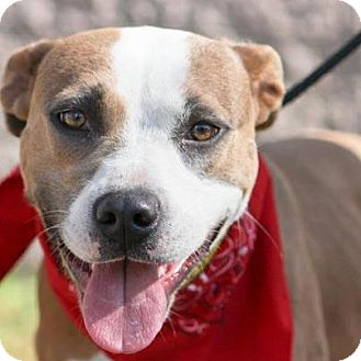 American Pit Bull Terrier/Boxer Mix Dog for adoption in Los Angeles, California - Ava
