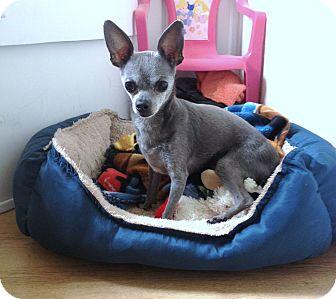Chihuahua Dog for adoption in Yorba Linda, California - Bolt - 6 lbs!
