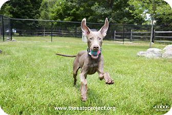 Weimaraner Puppy for adoption in Brooklyn, New York - Norman