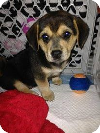 Hound (Unknown Type) Mix Puppy for adoption in Silsbee, Texas - Glory