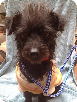 Poodle (Miniature)/Terrier (Unknown Type, Small) Mix Dog for adoption in Santa Monica, California - Mindy