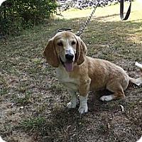 Adopt A Pet :: Dolly Madison - Jackson, TN