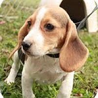 Adopt A Pet :: Lightening - Staunton, VA