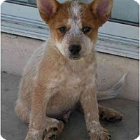 Adopt A Pet :: Diesel - Phoenix, AZ