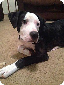 American Bulldog Mix Dog for adoption in Warner Robins, Georgia - Thunder