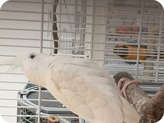 Cockatiel for adoption in Punta Gorda, Florida - Frosty & Alby
