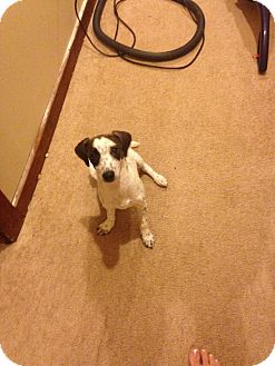 Fox Terrier (Smooth) Mix Dog for adoption in Brick, New Jersey - Sprinkles
