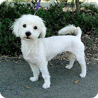 Poodle (Miniature) Mix Dog for adoption in Walnut Creek, California - Mimi