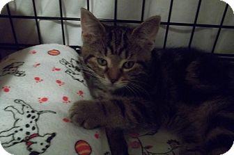 Domestic Shorthair Kitten for adoption in Acme, Pennsylvania - Starburst