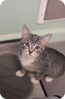 Domestic Shorthair Cat for adoption in Atlanta, Georgia - Draco