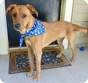 Retriever (Unknown Type)/Hound (Unknown Type) Mix Dog for adoption in Baton Rouge, Louisiana - Petey
