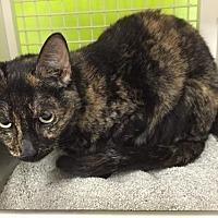 Domestic Shorthair Cat for adoption in Columbus, Ohio - Bippy