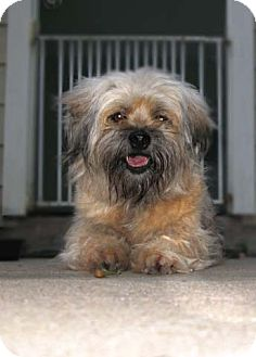 Lhasa Apso/Havanese Mix Dog for adoption in Houston, Texas - Peanut ButterCup